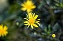 Yellow flower_S