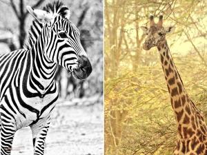 Tarangire_giraffe zebra_by Mutua matheka