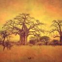 67_iPad_Baobabs of Tarangire